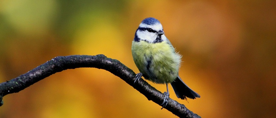 vogelhuisje pimpelmees