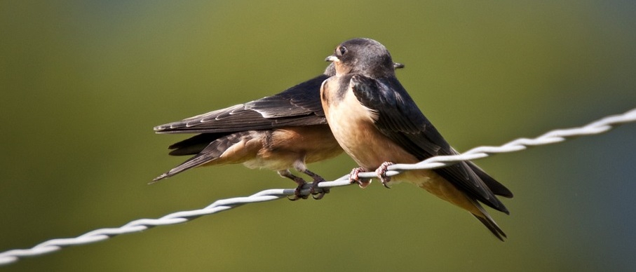 nestkast zwaluw